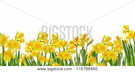 Beautiful Blooming Daffodils