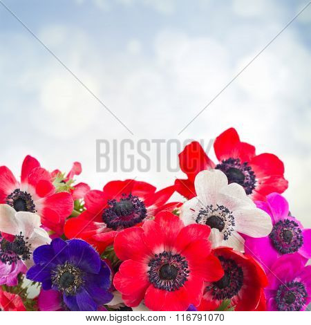 anemone flowers on blue