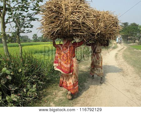 KUMROKHALI, INDIA - JANUARY 18 : Farmer carries rice from the farm home on Jan 18, 2009 in Kumrokhali, West Bengal, India. This is the main shipping method farmers