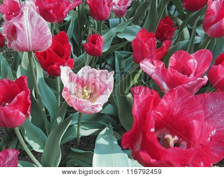 Colorful Tulips With Droplets In Spring