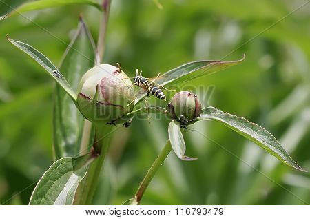 Wasp Approaches The Bud Pink Peony. Black Ants On A Peony Bud Pink Drug.