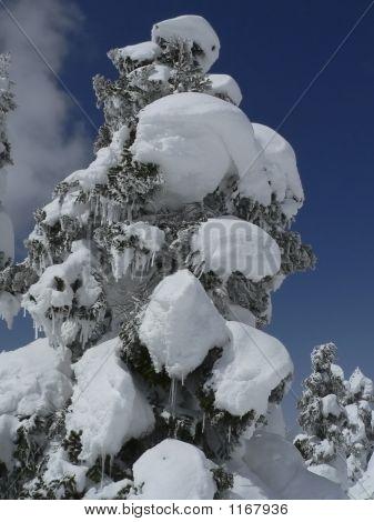 Snow-Covered Fir Tree