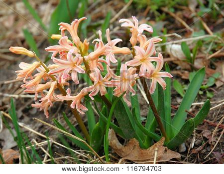 Peach colored Hyacinth