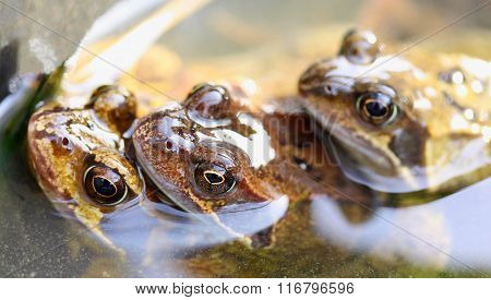 Three frogs in water