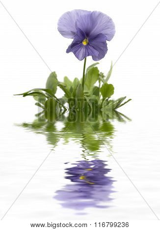 Pansies On A White Background