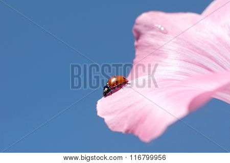 The ladybird creeps on a petal