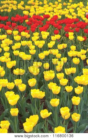 The Yellow tulips  background