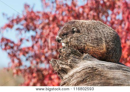 Woodchuck (marmota Monax) Rests On Log