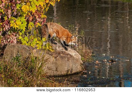 Red Fox (vulpes Vulpes) Crouches On Rock