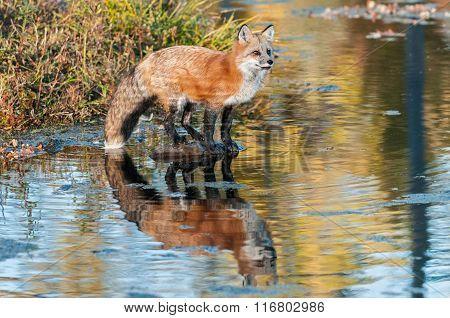 Reflected Red Fox (vulpes Vulpes)