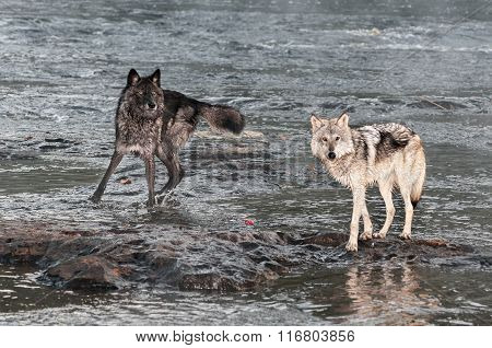 Grey Wolves (canis Lupus) Look Up From River