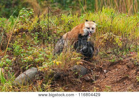 Red Fox (vulpes Vulpes) Pins Silver Fox