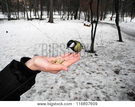 Feeding The Bird Tit From Hand.