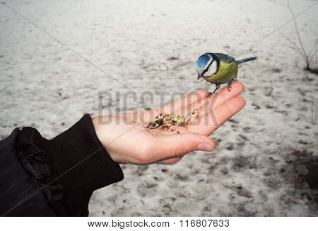 Feeding The Bird Blue Tit From Hand.