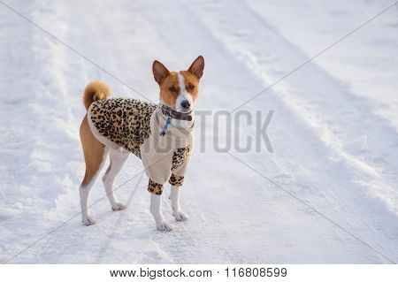 Basenji hesitating to play when it see so much snow