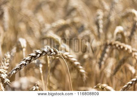 mature big ears of wheat in the field summer
