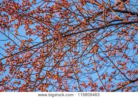 Cherry Tree Branches Budding in Spring
