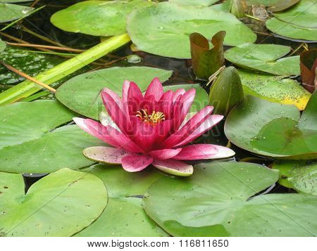pink lotus on the water