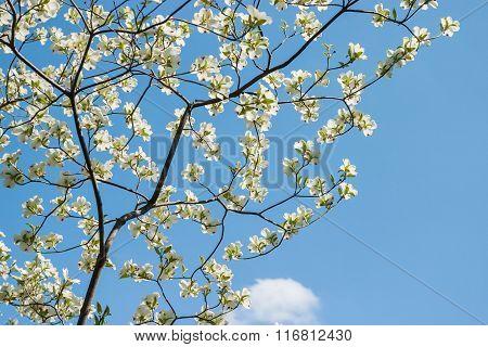 White Dogwood Blossoms and Blue Sky