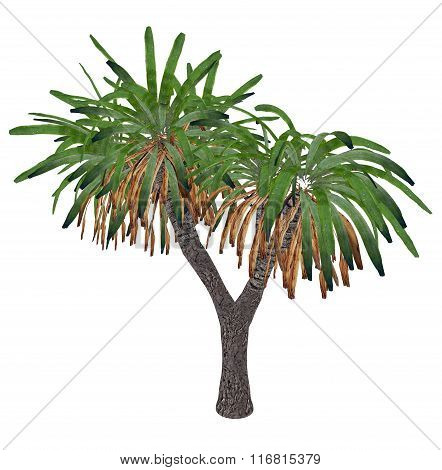 Canary Islands dragon tree or drago, dracaena draco - 3D render