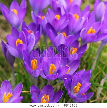 Violet Crocus Is One Of The First Spring Flowers As Spring Background