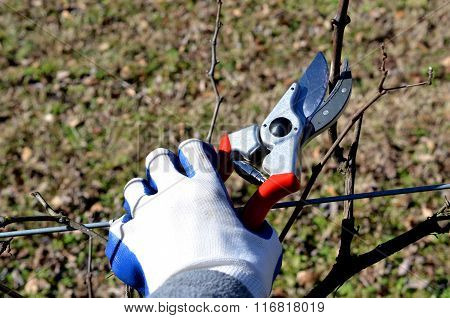 Pruning shears clipping grape vine.