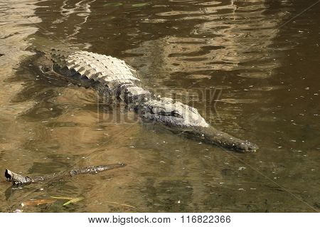 crocodile in the kakadu national park, australia