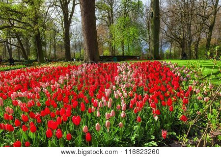 Red tulips in Keukenhof Garden, Netherlands