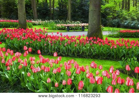 Red and pink tulips in a spring garden