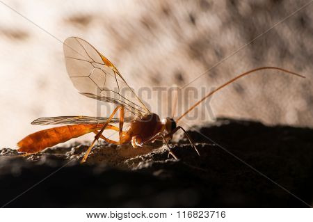 Ophion luteus wasp