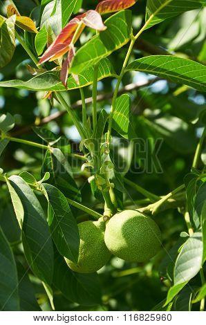 Two Unripe Walnuts On The Tree