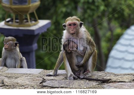 Sri-lankan Toque Macaque (macaca Sinica)