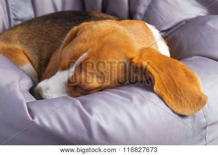 Beagle On The Soft Chair