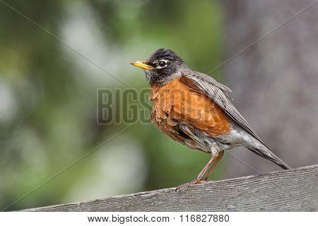 Bathed Robin