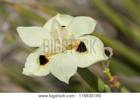 Dietes Bicolor - Iris Flower