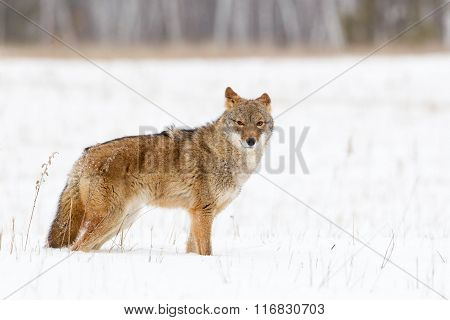 Coyote standing in the snow