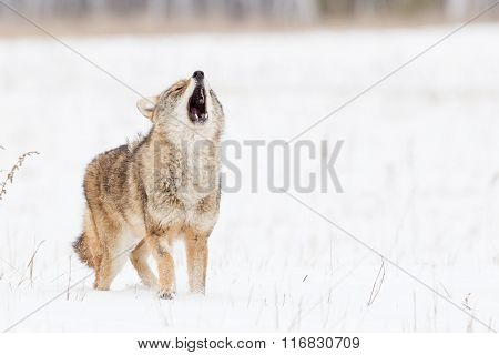 Coyote howling in the snow in mountains