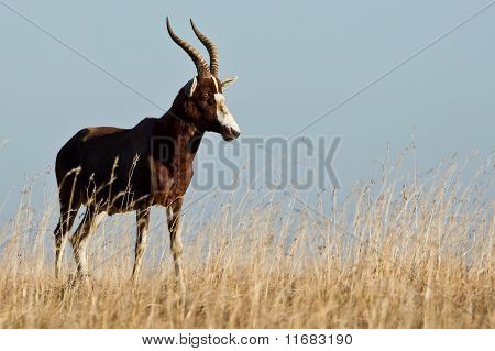 Lonely Bontebok