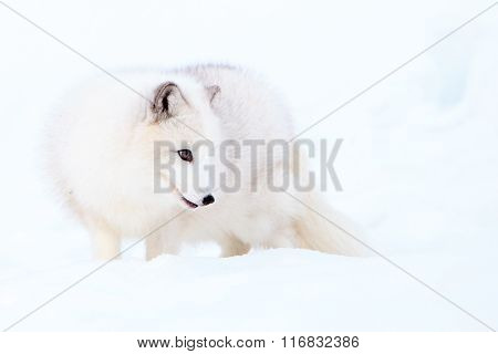 A cute arctic fox standing in the snow