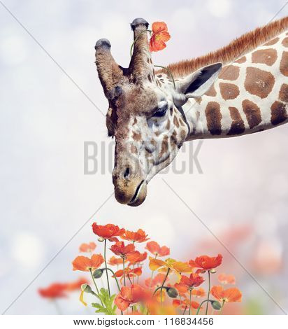 Giraffe Portrait and Poppy Flowers