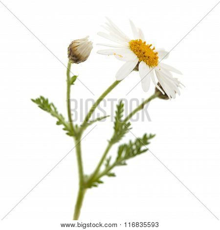 Canarian Marguerite Daisy