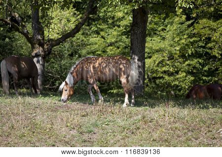 Haflinger horse eat grass on pasture