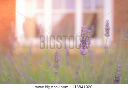 Lavandula Flowers In Spring Time With Blur Window Background. Selective Focus. Vintage Tone.