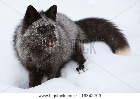 A silver fox with teeth showing
