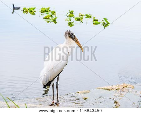 Relaxing White Wood Stork Bird On The Lake In The Winter