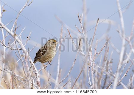 Golden Crowned Sparrow In A Leaf Bare Tree In Winter