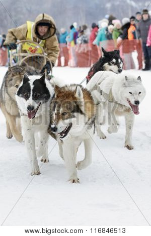 Kamchatka Dog Sledge Racing Beringia. Russian Far East, Kamchatsky Krai