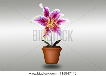 Lily Flower In Clay Pots