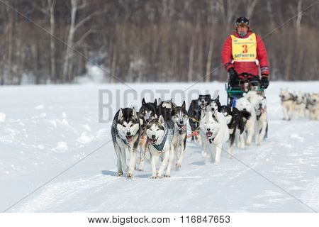 Kamchatka Extreme Sled Dog Racing Beringia. Russian Far East