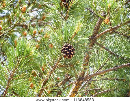 Pine Cone Among Branches.